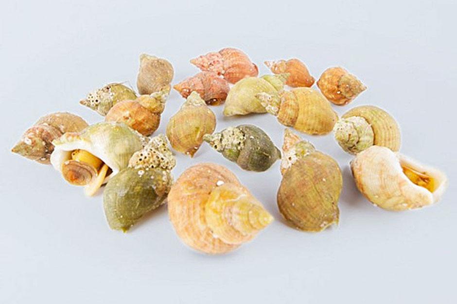 illustration de l'article pour bien choisir les bulot plateau de fruits de mer